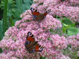 69_Infobild_when_does_the _butterfly